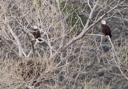 Bald Eagles in Nesting Tree
