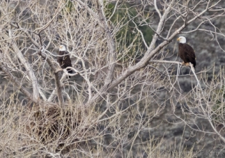 Bald Eagles in Nesting Tree