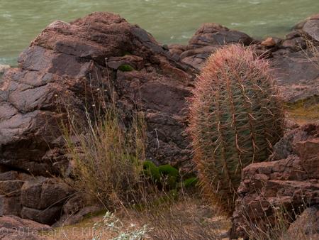Barrel Cactus Dotting the Hillside