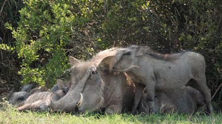 Momma Warthog and Babies