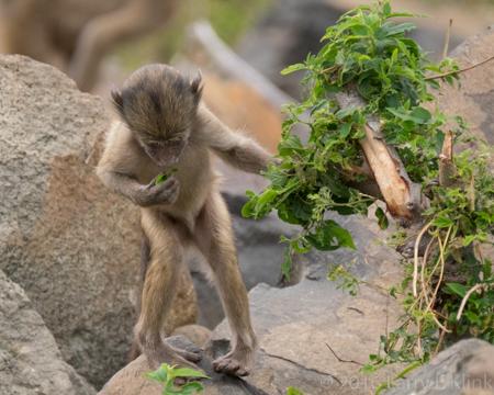 Infant Baboon