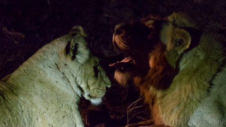 Lions, Mating Pair - P1