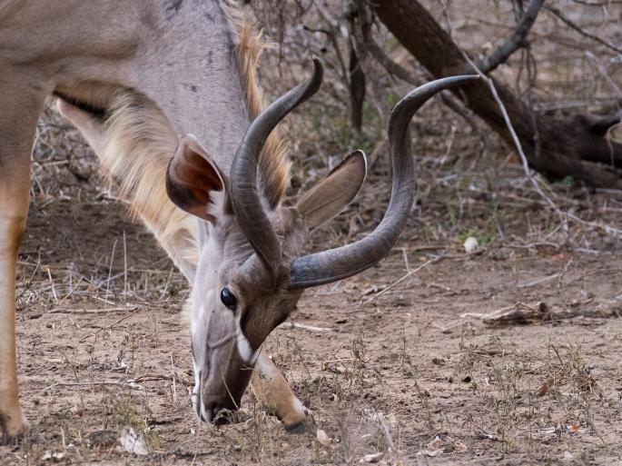 The Male Kudu -P2