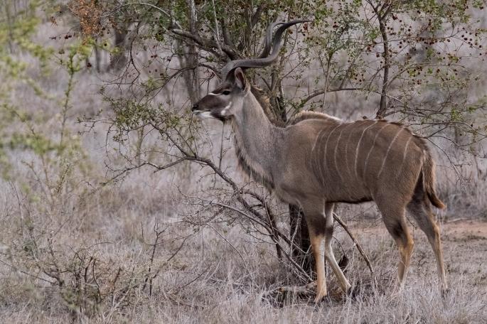 The Male Kudu -P1