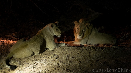 Lions, Mating Pair - P2
