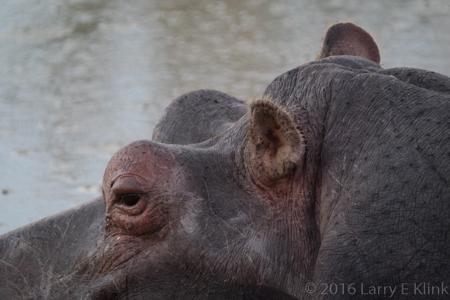 A Pensive Hippo