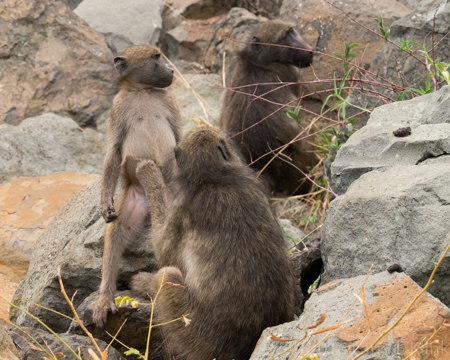 Grooming the Little Baboon