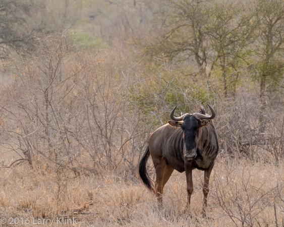 Wildebeest (Gnu) - P4