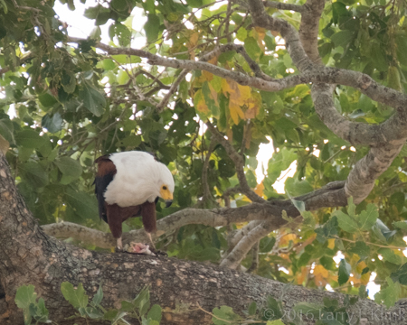 African FIsh Eagle Feeding - Perspective 2