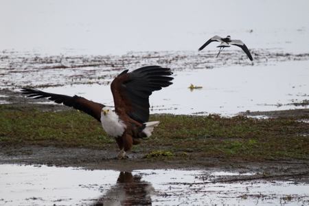 African FIsh Eagle Fending Lapwing Attack - Perspective 1