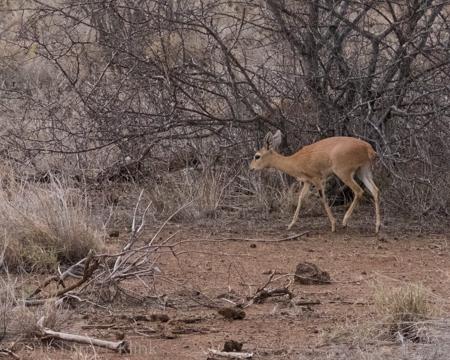 Steenbok - Perspective 1