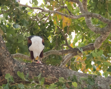 African FIsh Eagle Feeding - Perspective 1