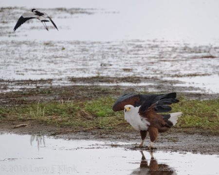 African FIsh Eagle Fending Lapwing Attack - Perspective 2