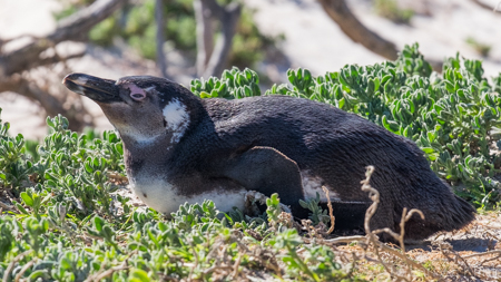 African Penguin - Perspective 6