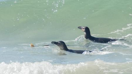African Penguin - Perspective 3