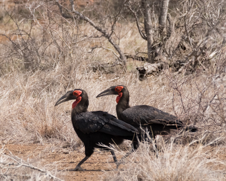 Image of Southern Ground Hornbill - Perspective 1