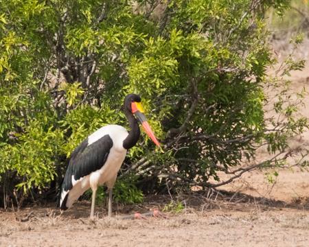Saddle Beaked Stork