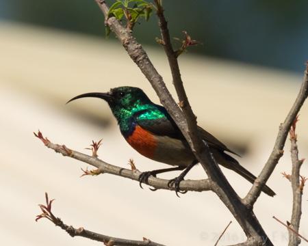 Orange Breasted Sunbird