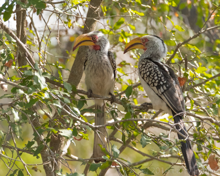 Image of Yellow Billed Hornbill - Perspective 2