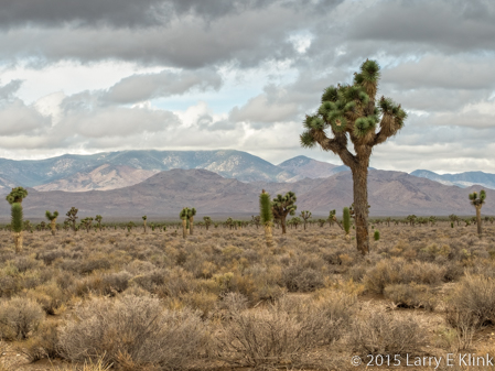 Image of Joshua Tree Forest in Nevada