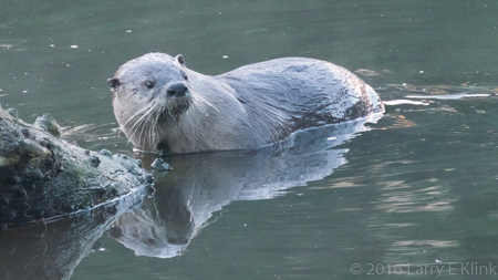 Image of River Otter - Perspective 1