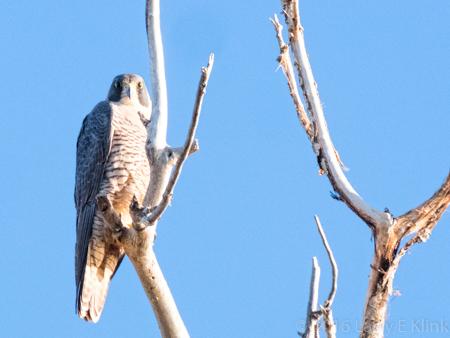 Image of Peregrine Falcon