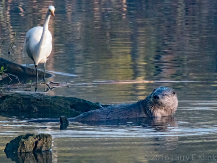Image of River Otter and Egret