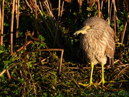 Image of Juvenille Black Crowned Night Heron