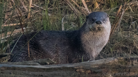 RIver Otter - Perspective 4