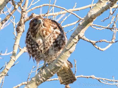 Image of Red Shouldered Hawk