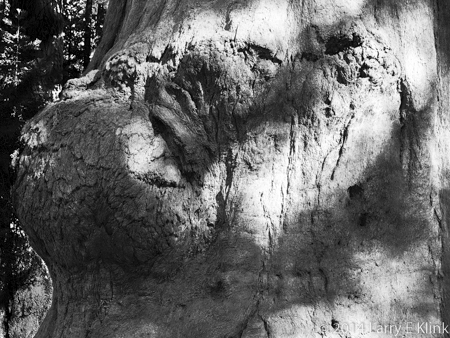 Image of a burl on the trunk of a giant sequoia tree.