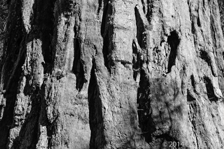 Image of part of the trunk of a Giant Sequoia