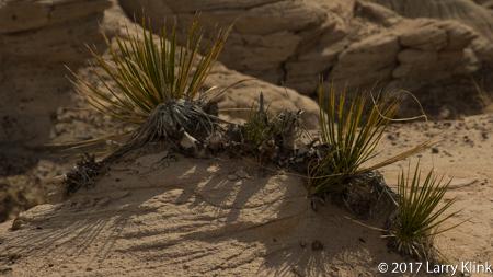 Image of Desert Grass