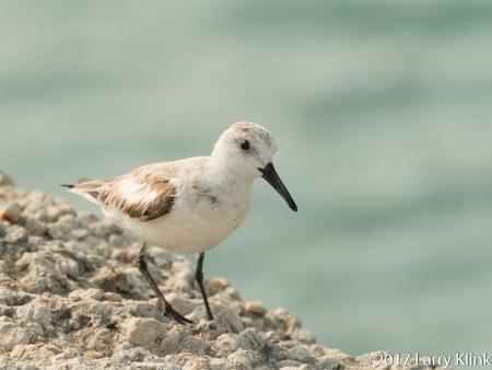 Image of sanderling