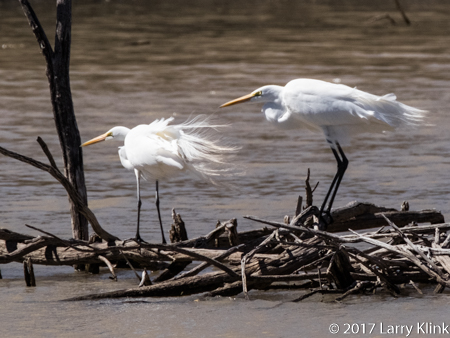 Image of a pair of wind blown great egrets