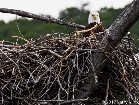 Image of Bald Eagle in a nest