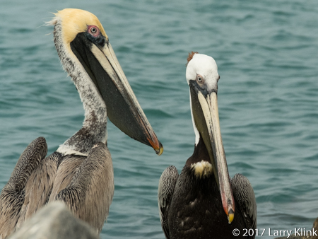 Image of a pair of brown pelicans