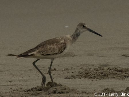 Image of Non-breeding male willet