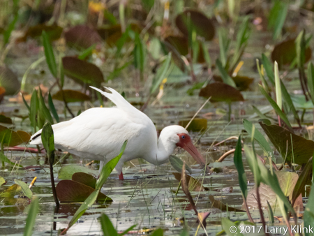 Image of white ibis in Okefenokee Swamp