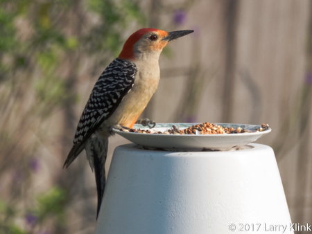 Image of red-bellied woodpecker at feeder