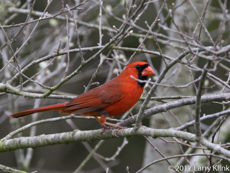 Image of a male cardinal