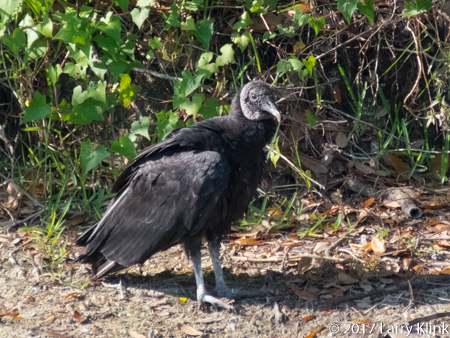 Image of a black vulture