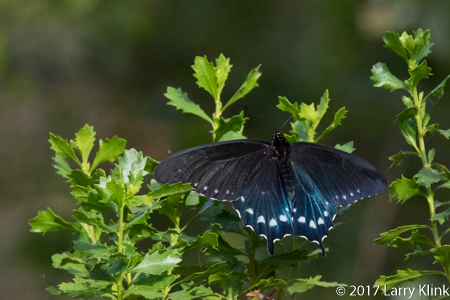 Image of a Spicebush Swallowtail butterfly, American River Parkway, Folsom, CA, JUN 2017
