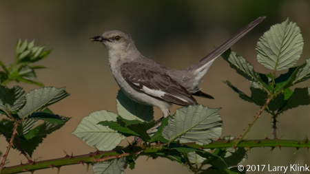 Image of a Northern Mockingbird, American River Parkway, Folsom, CA, JUN 2017