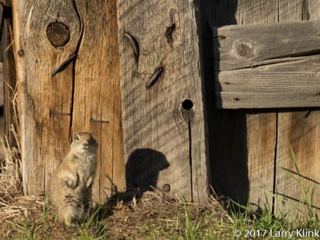 IMage of a Belding's Ground Squirrel, Bodie, CA JUN 2017
