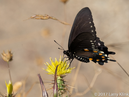 Image of a Spanish Swallowtail butterfly, American River Parkway, Folsom, CA, JUN 2017