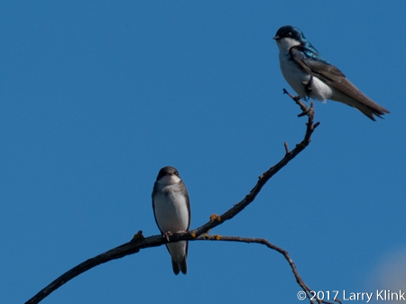 Image of a pair of Tree Swallows, American River Parkway, FOlsom, CA, JUN 2017