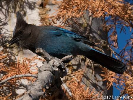 Image of a Steller's Jay, Yosemite National Park, MAY 2017