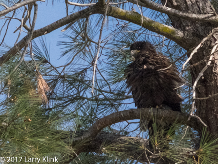 Image of an Eaglet - Bald Eagle Chick, American River Parkway, Folsom, CA, MAY 2017