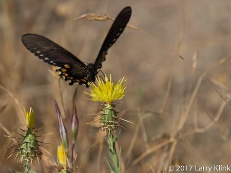 IMage of a Spanish Swallowtailbutterfly, American River Parkway, Folsom, CA, JUN 2017